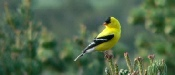 Goldfinch looking backwards